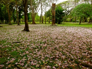 Lumpini Park covered in blossoms.