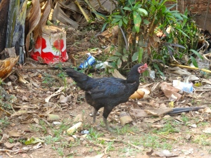 The chicken pecking at trash next to our roadside rest stop.