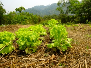 Lettuce in our vegetable beds.