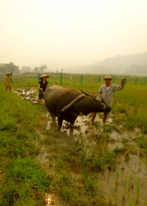 Plowing a rice paddy!