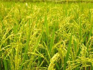 Fully grown rice stalks ready for harvesting.