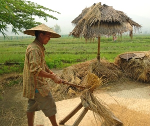 Threshing the rice by beating it against a wooden plank.