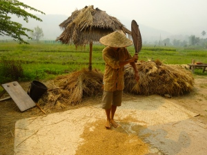 Winnowing the rice with a giant fan to separate it from the stalks.