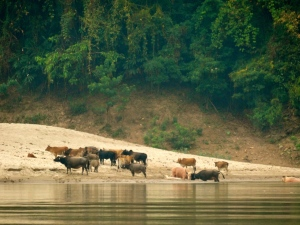 Water buffalo grazing and bathing in the Mekong.