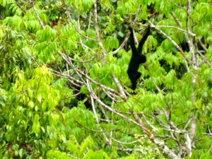 My first Western Black Crested Gibbon sighting in the jungle.