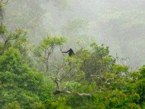 Gibbon in the mist.  King of this jungle.