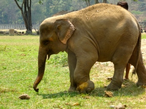 Khundet - her front left foot is injured from stepping in a snare.