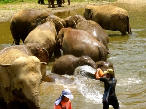 Mahouts helping to bathe their elephants.