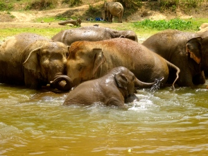 Elephant bath time.