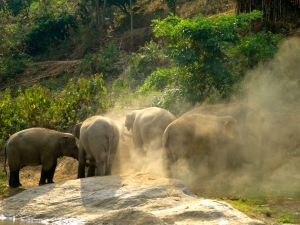 Elephant frustration - kicking dirt and pulling at tree branches.