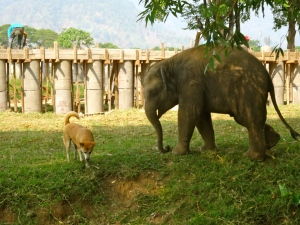 The elephants and dogs have some fun with each other.