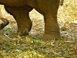 Elephant who lost a partial foot when she stepped on a land mine near the border.