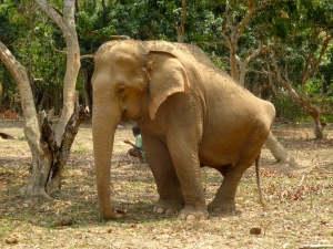 Elephant with damaged hips.