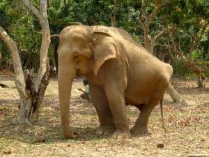 Elephant with damaged hips.